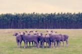 Purple Sheep GRAY MALIN dream series FashionDailyMag
