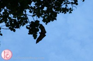 maldives megabat fruit bat