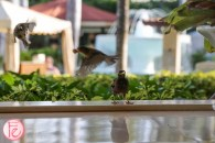 myna birds maui