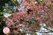 淡水天元宮賞櫻季2020 / Tianyuan Temple Tamsui sakura cherry blossom