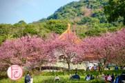 淡水天元宮賞櫻攻略2020 / Tianyuan Temple Tamsui sakura cherry blossom guide and review