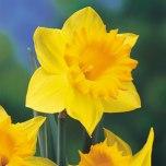 March: Daffodil