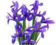 Pisces: Iris