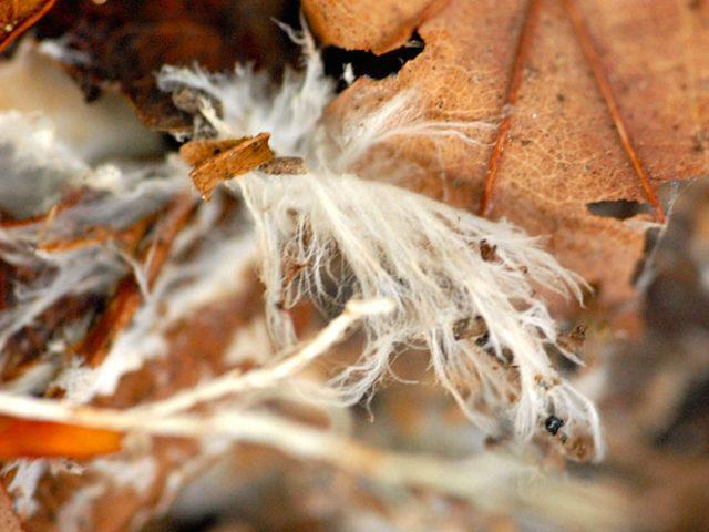 Mycelia | Photo Credit: Wikimedia Commons