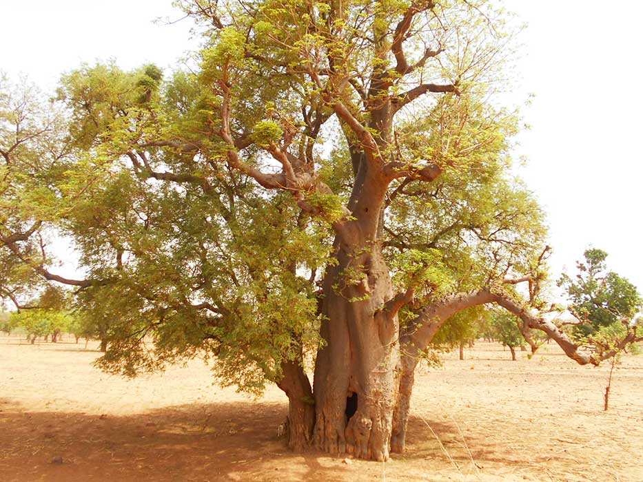 Photo d'un arbre du Baobab au Burkina Faso
