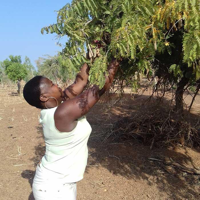 Photo de Florence qui controle la qualité de fruits du tamarin dans le tamarinier à Burkina