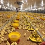 naves y granjas avícolas