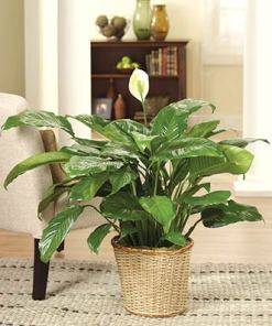 Sympathy I'm Sorry Peace Lily Flower Plant
