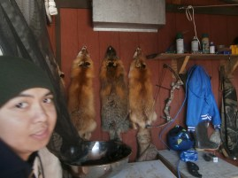Red fox skins from hunting, along with a photobomb from my co-worker