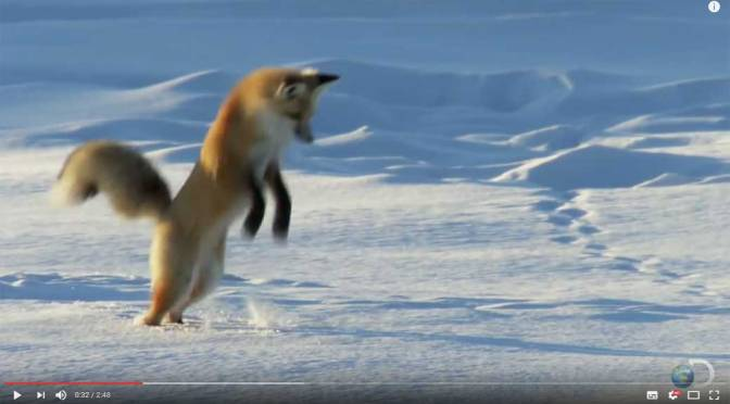 Fox Dives Headfirst into Snow