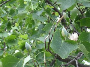 Tuliptree5