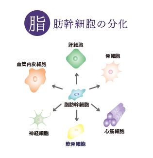脂肪幹細胞