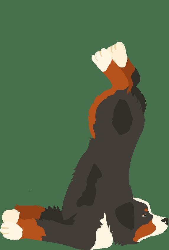Bernese Mountain dog tripped