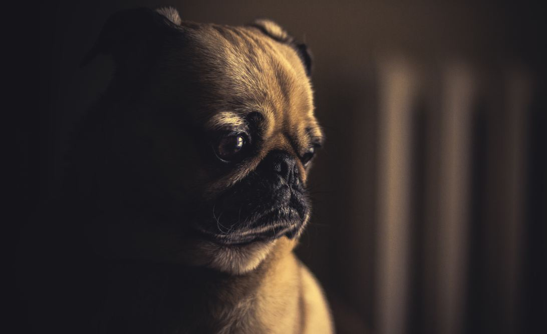 Sad pug reflecting on failure