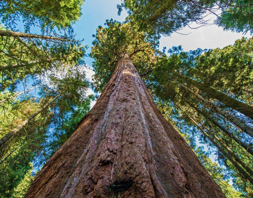 California-Redwood-Sequoia-Tallest-Tree