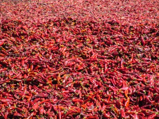Chili Peppers drying at the sun