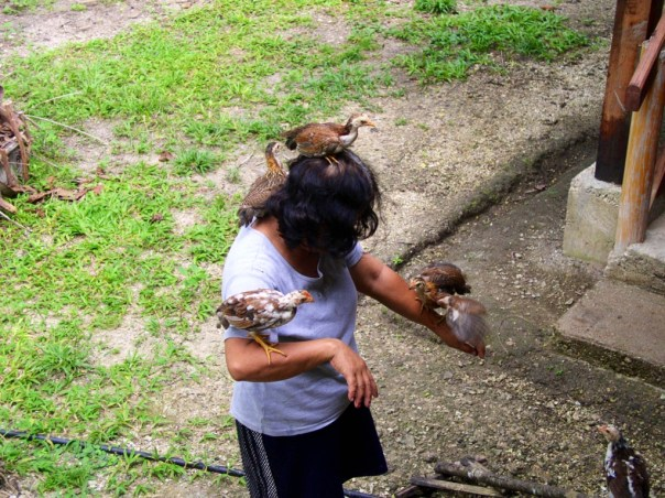 Because the chicks were raised by humans, they became very attached to us. Here's Penny with the chicks.