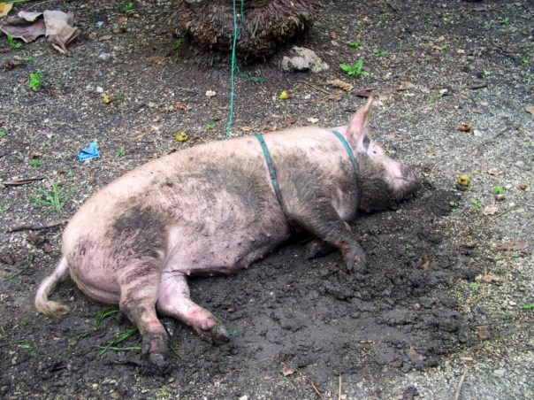 Our first pig for fattening, raised by Penny from April-December 2010 and weighed just a little over 100kg.