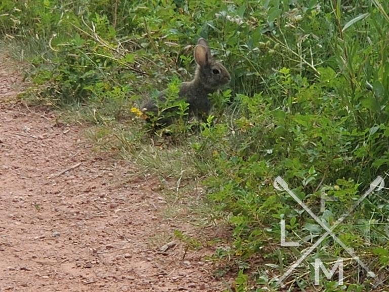 A baby bunny in the grasses just off the trail.