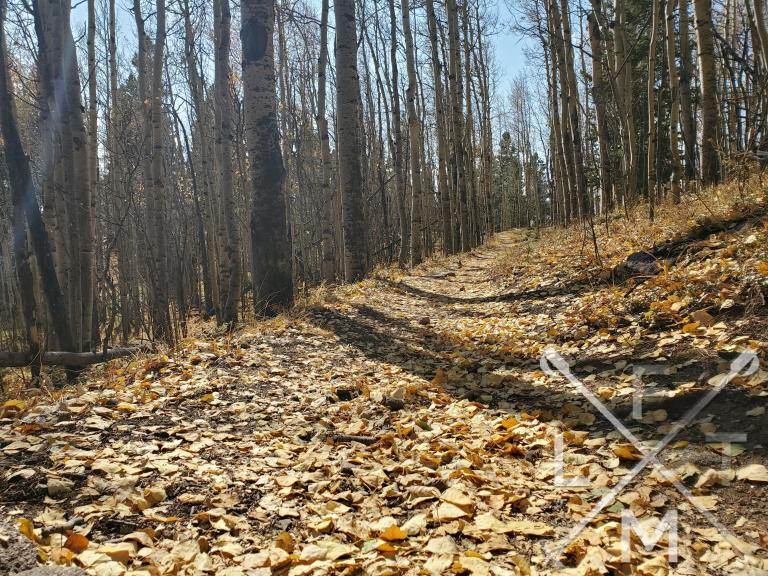 The trail covered in yellow aspen leaves and walking between aspen trees on either side.