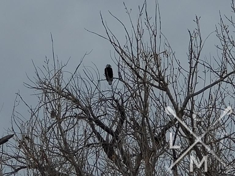Bald Eagle sitting in a tree at Barr Lake.