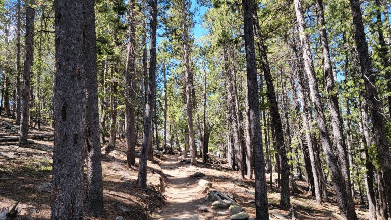 The narrow trail leading through some tall pine trees.  The trail is completely in the shade on the middle section of the Deer Mountain Trail.