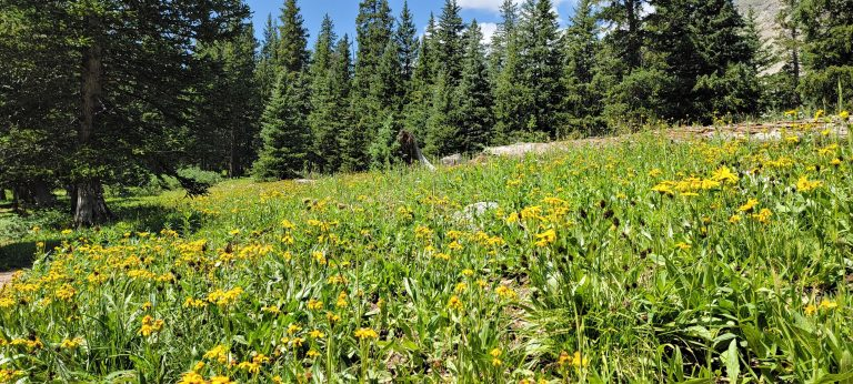A field of yellow wildflowers on the Kroenke Lake trail.