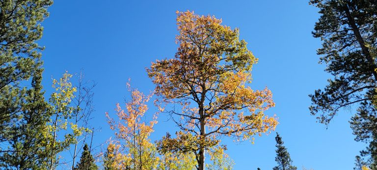 a tall aspen with gold and orange leaves with a backdrop of blue sky as part of the fall colors of colorado at Kenosha Pass
