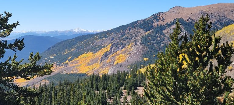 A hillside is covered with a large patch of yellow leaves. In the background snow capped mountains can be seen from the Abyss trail to Helms Lake