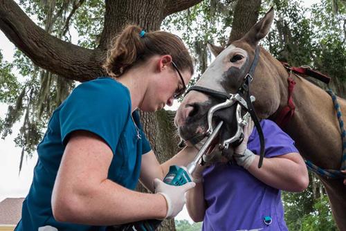 Dr. Croy Examining a Horses Teeth - Faulkville Animal Hospital - Bloomingdale and Pooler, GA