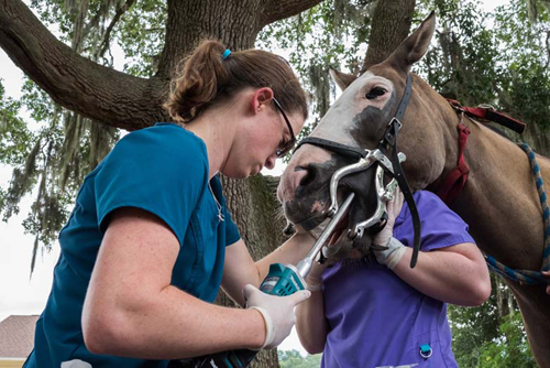 Dr. Croy Examining a Horses Teeth - Faulkville Animal Hospital - Bloomingdale and Pooler, GA