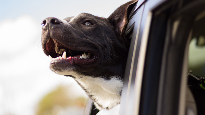 Dog with Head Out of a Car Window - Faulkville Animal Hospital - Bloomingdale, GA