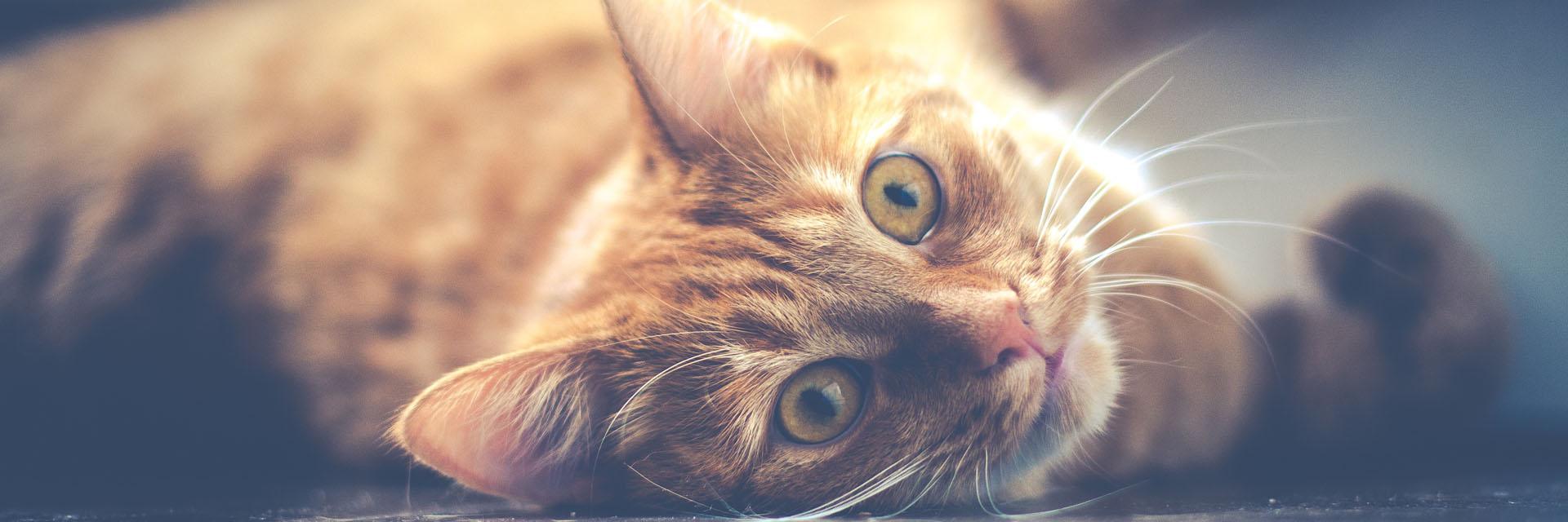 Orange Cat Laying Down - Faulkville Animal Hospital - Bloomingdale, GA