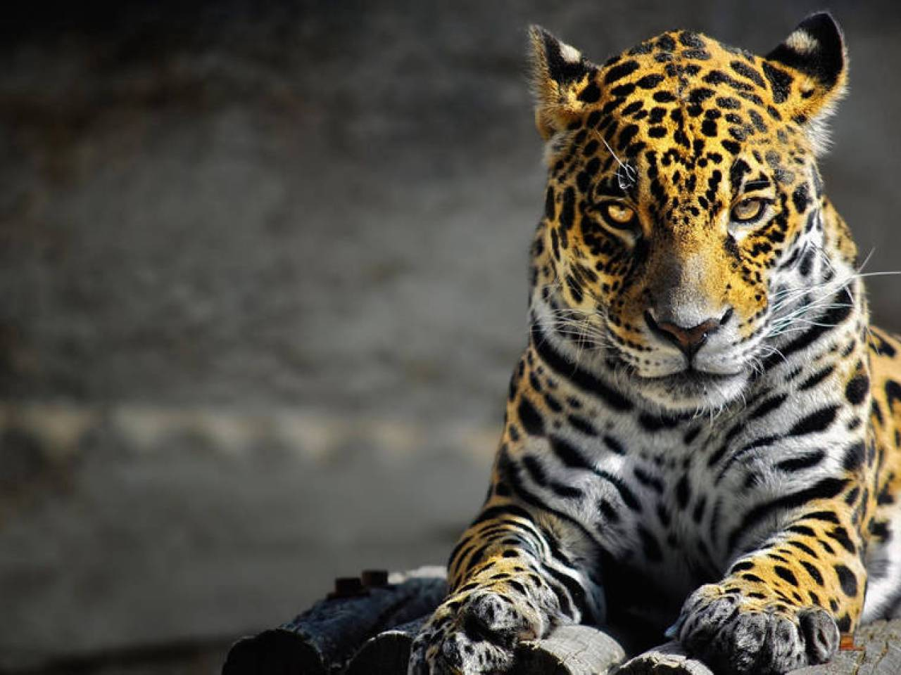 wallpapers tagged with relaxing: cub wild cute tiger white kitty