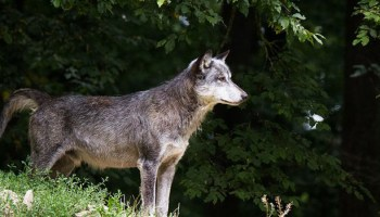 Living With Wolves In The Western Great Lakes