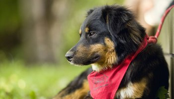 C-BARQ: A Useful Tool For Dog Shelter Intake