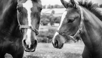 Horses And The Effectiveness Of Qualitative Behaviour Assessment