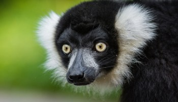 Does Training Affect Zoo Animal Behaviour?: A Case Study With Lemurs