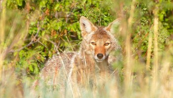 Coyotes: Coexisting Is The Only Option