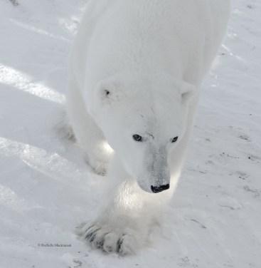An adult polar bear approaches our tundra buggy, Churchill, Canada