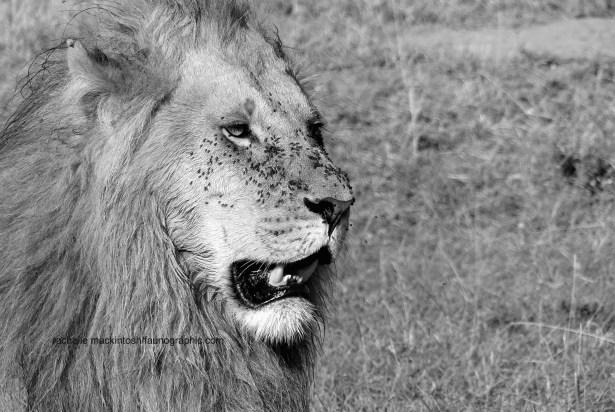 man_lion