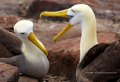 Waved albatross romance