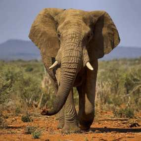 Adult ele on his way to the Madikwe water hole
