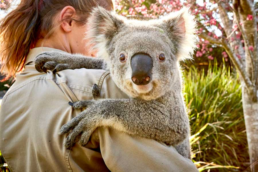 DNSW Where to see koalas in New South Wales