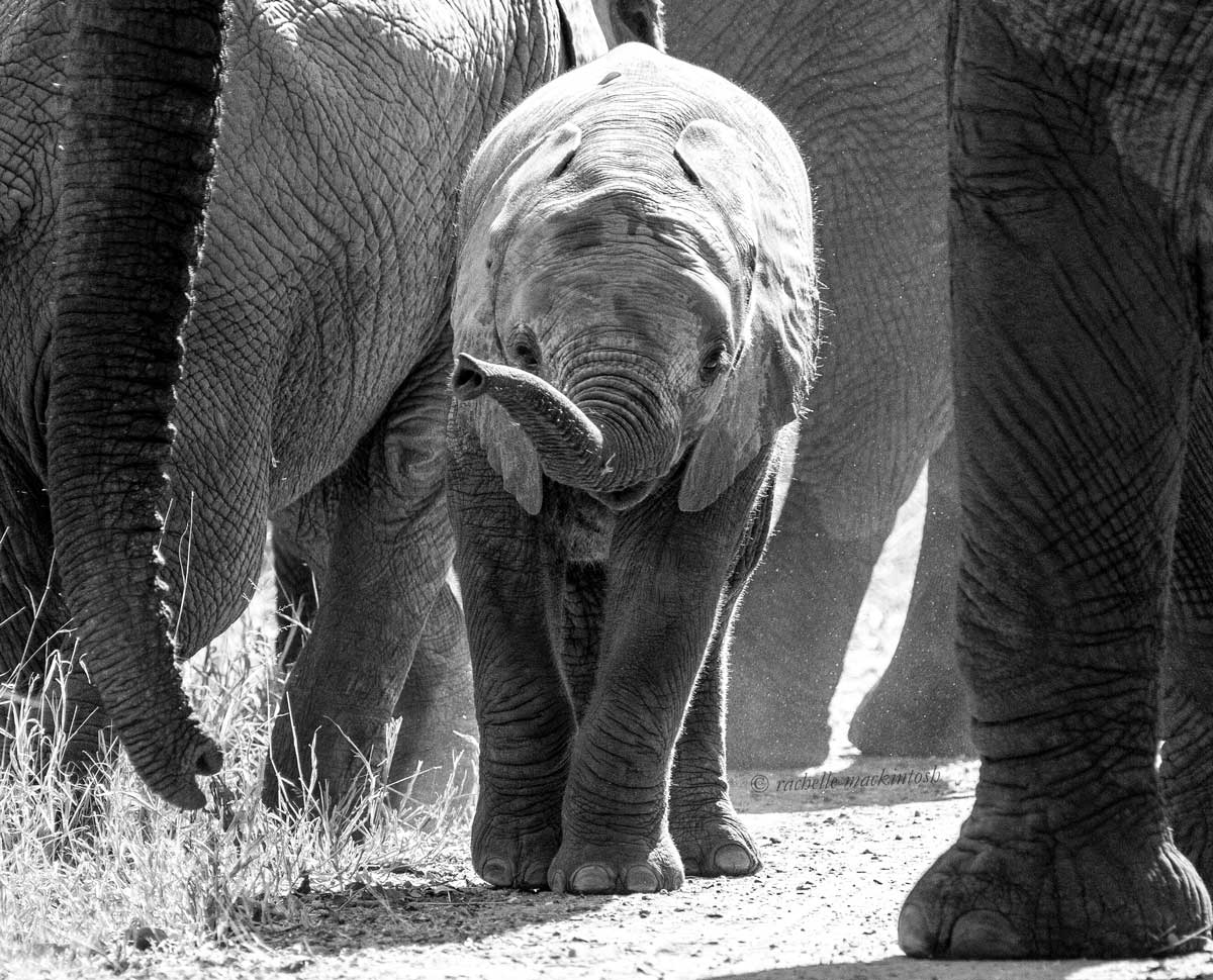 baby elephant south africa black and white
