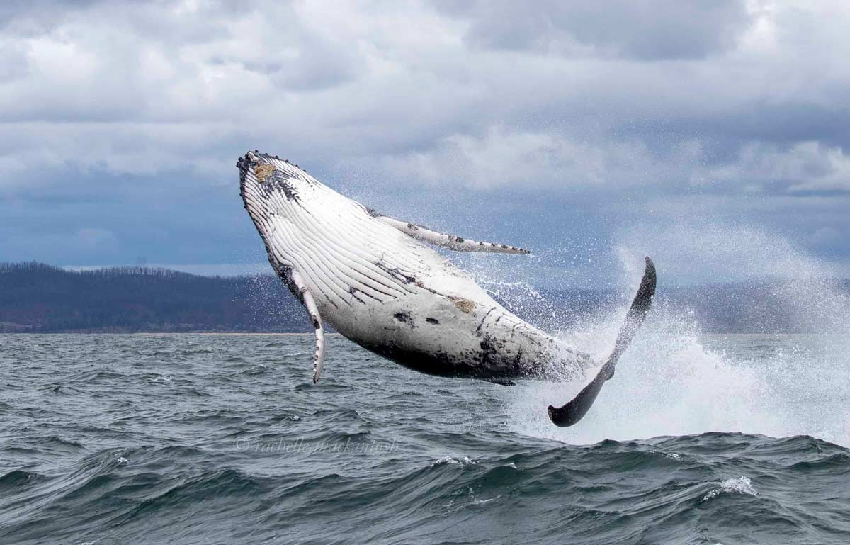 baby humpback whale eden breach australia