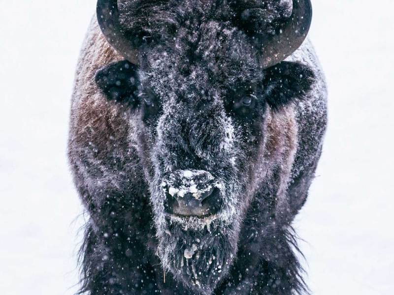 bison yukon territory winter canada