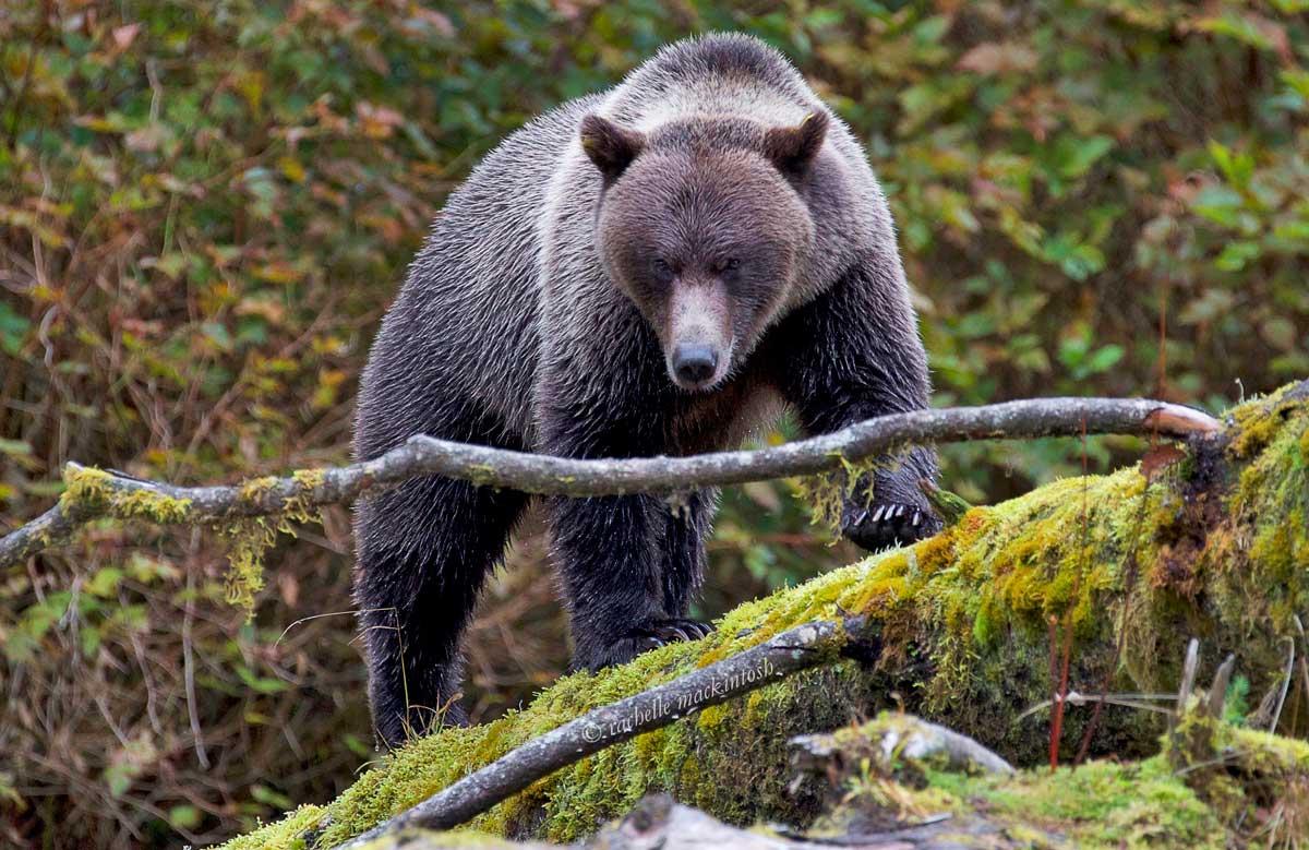 british columbia great bear rainforest