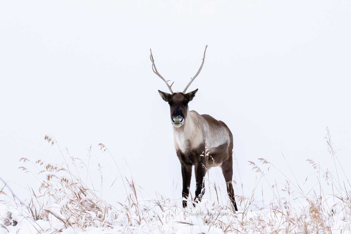 canada caribou yukon territory winter