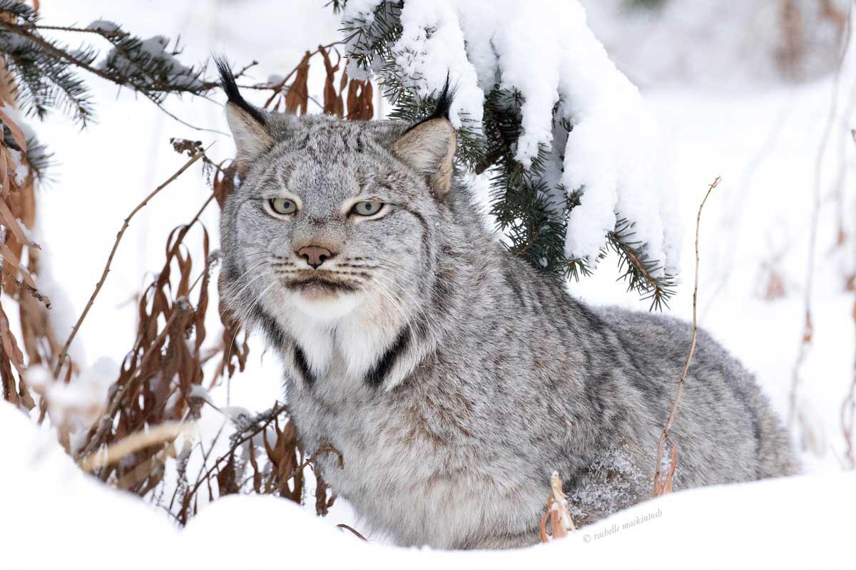 canadian lynx yukon territory winter portrait writing